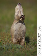 Blacktail Prairie Dog (Cynomys ludovicianus) engaging in Jump-yip... Стоковое фото, фотограф John Cancalosi / Nature Picture Library / Фотобанк Лори