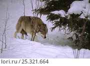 Купить «European grey wolf (Canis lupus) with tail down in a submissive posture, captive, Bayerischerwald National Park, Germany, March», фото № 25321664, снято 20 февраля 2020 г. (c) Nature Picture Library / Фотобанк Лори