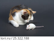 Купить «Domestic cat, tortoiseshell kitten playing with white mouse», фото № 25322188, снято 5 декабря 2019 г. (c) Nature Picture Library / Фотобанк Лори