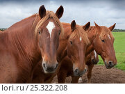 Купить «Suffolk Punch heavy horses in field, UK, September», фото № 25322208, снято 16 августа 2018 г. (c) Nature Picture Library / Фотобанк Лори