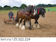 Купить «Harrow pulled by a pair of working Shire Horses, UK, July 2007», фото № 25322224, снято 16 августа 2018 г. (c) Nature Picture Library / Фотобанк Лори
