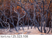 Купить «Burnt trees after a station fire near Los Angeles, Southern California, USA, September 2009», фото № 25323108, снято 22 августа 2018 г. (c) Nature Picture Library / Фотобанк Лори