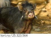 Купить «Philippines warty pig (Sus philippensis) head portrait. Found in Luzon, Mindoro, Catanduanes, Mindanao. Philippines, Endemic and endangered. Captive», фото № 25323564, снято 21 апреля 2019 г. (c) Nature Picture Library / Фотобанк Лори