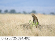 Купить «Leopard (Panthera pardus) sitting in grassland, surveying the landscape, Masai Mara Game Reserve, Kenya, East Africa», фото № 25324492, снято 21 сентября 2019 г. (c) Nature Picture Library / Фотобанк Лори