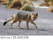 Andean / Culpeo fox (Pseudalopex culpaeus) walking, Eduardo Abaroa nature reserve, S.W. Bolivia, South America. Стоковое фото, фотограф Daniel Heuclin / Nature Picture Library / Фотобанк Лори