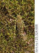 Купить «Moss-mimic katydid (Tettigoniidae) Rewa River, Iwokrama Reserve, Guyana», фото № 25324608, снято 25 марта 2019 г. (c) Nature Picture Library / Фотобанк Лори