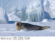 Купить «Ringed seal (Phoca hispida) portrait of pup lying on ice, Chukchi Sea, off shore from Point Barrow, Arctic Alaska», фото № 25325124, снято 16 июля 2018 г. (c) Nature Picture Library / Фотобанк Лори