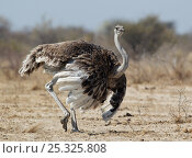 Купить «Ostrich [Struthio camelus] courtship display by female, Etosha National Park, Namibia, August», фото № 25325808, снято 16 августа 2018 г. (c) Nature Picture Library / Фотобанк Лори