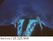 Manta ray (Manta hamiltoni) accompanied by two symbiotic Remora, Eastern Pacific. Стоковое фото, фотограф DOC WHITE / Nature Picture Library / Фотобанк Лори
