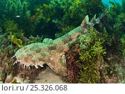 Купить «Spotted Wobbegong Shark (Orectolobus maculatus) lying in seaweed. Manly, Sydney, New South Wales, Australia. Pacific Ocean. November», фото № 25326068, снято 25 мая 2018 г. (c) Nature Picture Library / Фотобанк Лори