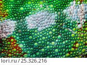 Купить «Panther chameleon close-up of skin {Furcifer pardalis}, green colouration, Madagascar.», фото № 25326216, снято 3 апреля 2020 г. (c) Nature Picture Library / Фотобанк Лори