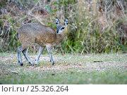 Klipspringer (Oreotragus oreotragus) female, Mlilwane Wildlife Sanctuary, Swaziland. Стоковое фото, фотограф Mark Carwardine / Nature Picture Library / Фотобанк Лори