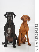 Купить «Great Dane, black coated bitch, and Magyar Vizsla /Hungarian Pointer, tan coated male, sitting side by side.», фото № 25326812, снято 19 января 2018 г. (c) Nature Picture Library / Фотобанк Лори