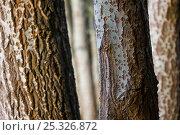 Купить «Close up of bark of White poplar tree (Populus alba) Donana NP, Huelva, Andalucia, Spain», фото № 25326872, снято 18 сентября 2018 г. (c) Nature Picture Library / Фотобанк Лори