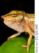Купить «Boettger's / Blue nosed chameleon {Calumma boettgeri} Masoala Peninsula National Park, north east Madagascar.», фото № 25326940, снято 3 апреля 2020 г. (c) Nature Picture Library / Фотобанк Лори