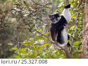 Купить «Indri (Indri indri) sitting in tree, feeding. Tropical rainforest, Andasibe-Mantadia National Park, Eastern Madagascar. IUCN Endangered Species.», фото № 25327008, снято 25 января 2020 г. (c) Nature Picture Library / Фотобанк Лори