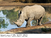 Southern white rhinoceros (Ceratotherium simum simum) beside water, Endangered species, Mkhaya Game Reserve, Swaziland. Стоковое фото, фотограф Mark Carwardine / Nature Picture Library / Фотобанк Лори
