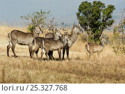 Common waterbuck (Kobus ellipsiprymnus) group of females and young, Mlilwane Wildlife Sanctuary, Swaziland. Стоковое фото, фотограф Mark Carwardine / Nature Picture Library / Фотобанк Лори