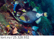 Купить «Giant / Titan triggerfish (Balistoides viridescens) feeding on coral reef and attracting wrasses, a bream, boxfish and butterflyfish, all hoping for scraps...», фото № 25328932, снято 15 декабря 2017 г. (c) Nature Picture Library / Фотобанк Лори