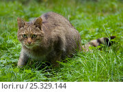 Wild cat (Felis silvestris) crouched in grass, captive. Стоковое фото, фотограф Edwin Giesbers / Nature Picture Library / Фотобанк Лори