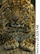 Купить «Sri Lankan Leopard (Panthera pardus kotiya) head portrait, with paws out in front, captive.», фото № 25329148, снято 21 июля 2018 г. (c) Nature Picture Library / Фотобанк Лори
