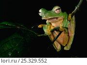 Купить «Wallace's flying frog (Rhacophorus nigropalmatus) resting on branch in lowland rainforest, Danum Valley Conservation Area, Sabah, Borneo, Malaysia», фото № 25329552, снято 26 мая 2019 г. (c) Nature Picture Library / Фотобанк Лори