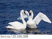 Купить «Pair of Trumpeter Swans (Cygnus buccinator) in courtship display, wintering on Mississippi River, Minnesota, USA», фото № 25330308, снято 17 марта 2018 г. (c) Nature Picture Library / Фотобанк Лори