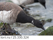 Light bellied / Atlantic  Brant Goose (Branta bernicla hrota) foraging on intertidal rocks at low tide. Ocean County, New Jersey, USA, January. Стоковое фото, фотограф Gerrit Vyn / Nature Picture Library / Фотобанк Лори