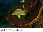 Купить «Ribbon sweetlips (Plectorhinchus polytaenia) sheltering in a huge Barrel sponge, Bali, Indonesia.», фото № 25331032, снято 16 июля 2018 г. (c) Nature Picture Library / Фотобанк Лори