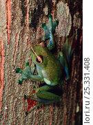 Купить «Jade treefrog (Rhacophorus dulitensis) on tree trunk in lowland rainforest , Danum Valley Conservation Area, Sabah, Borneo, Malaysia», фото № 25331408, снято 17 августа 2018 г. (c) Nature Picture Library / Фотобанк Лори