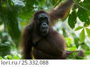 Adult female Bornean Orangutan (Pongo pygmaeus) named Beth, sitting on tree branch, Borneo, July 2007. Стоковое фото, фотограф Tim Laman / Nature Picture Library / Фотобанк Лори