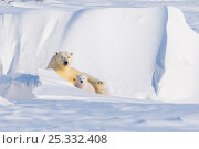 Купить «Polar bear (Ursus maritimus) sow with spring cub, newly emerged from their den in late winter, Arctic coast, Alaska, USA», фото № 25332408, снято 6 июня 2020 г. (c) Nature Picture Library / Фотобанк Лори