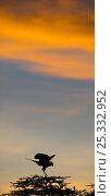 Secretary Bird (Sagittarius serpentarius) on Acacia at sunrise. Ngorongoro Conservation Area / Serengeti National Park, Tanzania. March. (digitally stitched image) Стоковое фото, фотограф Nick Garbutt / Nature Picture Library / Фотобанк Лори