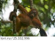 Juvenile female Bornean Orangutan (Pongo pygmaeus) called Betsy (daughter of Beth) hanging from vine, Gunung Palung NP, Borneo. Стоковое фото, фотограф Tim Laman / Nature Picture Library / Фотобанк Лори