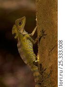 Купить «Portrait of male Giant angle-headed lizard (Gonocephalus grandis) low on a tree trunk in the lowland rain forest of Borneo.», фото № 25333008, снято 18 августа 2018 г. (c) Nature Picture Library / Фотобанк Лори