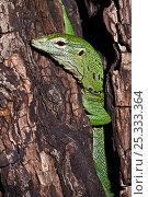 Купить «Green / Emerald Tree Monitor (Varanus prasinus) head portrait climbing tree trunk, captive.», фото № 25333364, снято 3 апреля 2020 г. (c) Nature Picture Library / Фотобанк Лори