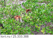 Купить «Male Proboscis Monkeys (Nasalis larvatus) feeding in trees in a mangrove swamp at low tide. Bako National Park, Sarawak, Borneo, Malaysia, April 2010.», фото № 25333388, снято 20 ноября 2019 г. (c) Nature Picture Library / Фотобанк Лори