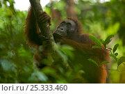 Adult female Bornean Orangutan (Pongo pygmaeus) called Beth, resting on a large vine in the wild, Gunung Palung NP, Borneo. Стоковое фото, фотограф Tim Laman / Nature Picture Library / Фотобанк Лори