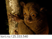 Head portrait of a Wild Western / Sunda tarsier (Tarsius bancanus) on tree trunk at night.  Danum Valley Conservation Area, Borneo, Sabah, Malaysia. Стоковое фото, фотограф Tim Laman / Nature Picture Library / Фотобанк Лори