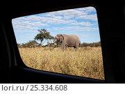 Купить «African elephant (Loxodonta africana) viewed through the window of a safari vehicle, Savute, Chobe NP, Botswana, April 2009», фото № 25334608, снято 23 июля 2018 г. (c) Nature Picture Library / Фотобанк Лори