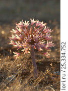 Купить «Candelabra lily (Brunsvigia bosmaniae) in flower, Namaqualand, South Africa», фото № 25334752, снято 19 июня 2019 г. (c) Nature Picture Library / Фотобанк Лори