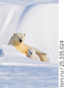 Купить «Portrait of Polar bear (Ursus maritimus) sow with spring cub, newly emerged from their den in late winter, Arctic coast, Alaska, USA», фото № 25335024, снято 6 июня 2020 г. (c) Nature Picture Library / Фотобанк Лори