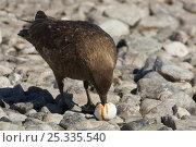 Antarctic / Subantarctic / Brown skua (Stercorarius antarcticus) feeding on Gentoo penguin egg, Antarctica, January. Стоковое фото, фотограф Tim Laman / Nature Picture Library / Фотобанк Лори