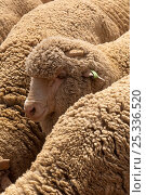 Marnio sheep (Ovis aries) huddling together as a sheep dog herds them from one end of a pen to the other. Queensland, Australia. Стоковое фото, фотограф Steven David Miller / Nature Picture Library / Фотобанк Лори
