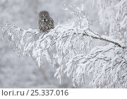 Great Grey owl (Strix nebulosa) perched on snow covered branch, in woodland, Kuusamo, Finland, Scandinavia, March. Стоковое фото, фотограф Markus Varesvuo / Nature Picture Library / Фотобанк Лори