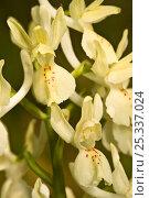 Купить «Provence orchid (Orchis provincialis) flowers, Lazio, Italy», фото № 25337024, снято 16 июля 2018 г. (c) Nature Picture Library / Фотобанк Лори