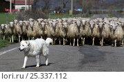 Купить «Dog working with herd of Sheep (Ovis aries) travelling down road, Tuscany, Italy. November 2008», фото № 25337112, снято 6 июля 2020 г. (c) Nature Picture Library / Фотобанк Лори