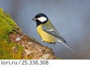 Купить «Great tit (Parus major) perching on moss covered tree trunk, New Forest, England, UK», фото № 25338308, снято 22 мая 2018 г. (c) Nature Picture Library / Фотобанк Лори