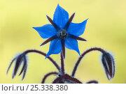 Купить «Borage (Borago officinalis) flower backlit, Menorca,  Balearic Islands, Spain, Europe», фото № 25338380, снято 26 мая 2019 г. (c) Nature Picture Library / Фотобанк Лори