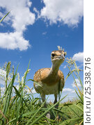 Great Bustard (Otis tarda) chick, Germany, vulnerable species. Стоковое фото, фотограф Dietmar Nill / Nature Picture Library / Фотобанк Лори